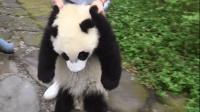 玩到一半的熊猫宝宝被拎回去, 半路瘫坐在地, 那模样笑翻众人