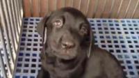 拉布拉多幼犬调皮的性格