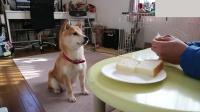 乖巧听话的柴犬等待主人喂面包, 目不转睛的盯着食物