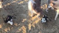 二哈: 啊, 轻点踩, 下面有狗!