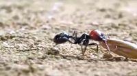 纪录片-【微观世界】蚂蚁的世界(作为人类,我压力山大)
