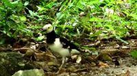 黑领椋鸟-拍摄纪录2012.7