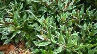紫背菜 补血菜 观音菜 刺梨种苗 补肾菜 特种蔬菜 养生蔬菜