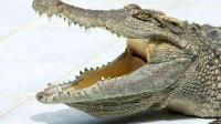 世界杯最疯狂球迷诞生 带着宠物鳄鱼一起支持自己喜爱的巴西队