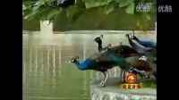 葫芦丝独奏《湖边的孔雀》