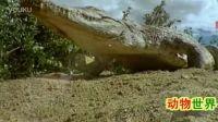 正大光明高清视频:动物世界(凶猛的动物鄂鱼)720p