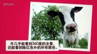 牛——奇妙的动物