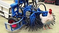 外国是这样抓鸡的, 一小时就是6000只, 这才叫机械化