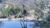 大长腿和小短腿一起喝水, 长颈鹿喝水的样子, 又好笑又心疼它