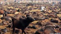 印度教教徒屠杀上万水牛, 祭祀神灵祈福, 屠宰场内尸横遍野