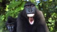 """动物界""""最爱笑的动物""""之一 与世隔绝 留着朋克式的发型"""