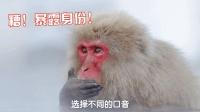 你以为只有你会说方言? 东北的猕猴照样一口东北味