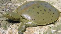 还在把乌龟认成鳖? 把甲鱼认成王八? 其实它们之间关系不浅!