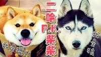 【中字搞笑】哈士奇vs柴犬, 哪一个更勇敢威猛? 看完再决定!