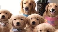 主人给金毛拍全家福, 小狗们一点都不老实, 狗妈妈笑得真甜!