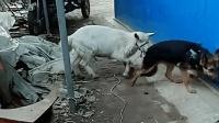 被羊咬得钻桌子底下, 狗子, 你的存在简直是狗界的耻辱!