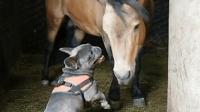 斗牛犬调戏一匹马, 被咬后立马认怂: 大哥, 我错了!