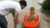 """下大雨了, 金毛""""妞妞""""把大盆当船玩, 太幸福了!"""