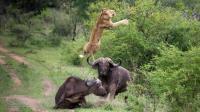 狮子猎捕水牛不成, 反被水牛掀翻到空中, 简直就是奇耻大辱!