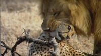 猎豹误入狮群领地睡觉, 雄狮一个前扑, 猎豹没反应过来就被拿下!