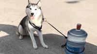 哈士奇: 有没有搞错呀, 本哈是雪橇犬, 又不是送水工!