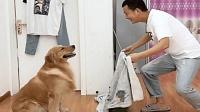 主人把自己变没了, 金毛的举动让人大呼意外, 这狗太机智了