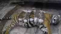 母老虎丧子抑郁, 伤心不已, 动物园找来猪崽代替小老虎