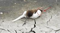 对手相见分外眼红, 凶猛白鼬大战巨鼠, 招招都是要巨鼠的命!