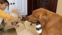 """主人分玩具, 金毛""""轮胎""""还跑第二趟, 这狗心眼太多了!"""