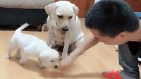 主人不停的阻挠小狗吃饭, 狗妈妈一把将他拦住: 闹够了没有?