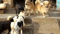 流浪狗如何处理? 有国家推出TNR, 将狗绝育之后重新放生!
