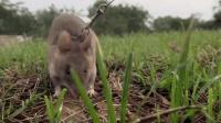 非洲巨鼠成为柬埔寨人心中的大英雄, 一百人都没有一只老鼠厉害