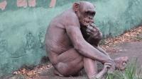 全世界最干净的猩猩, 全身不长一根毛, 女游客表示很尴尬!