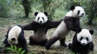 """传说  熊猫是一种很""""危险""""的动物"""