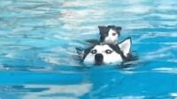 骑着狗狗游泳的小猫咪, 谁说猫咪和狗狗不能一起玩耍?