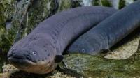 这条鱼会自己发电, 一下就是800伏, 网友: 不怕电死自己?