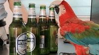 大金刚鹦鹉帮主人开啤酒, 网友: 去酒店给它找个开瓶盖的活!