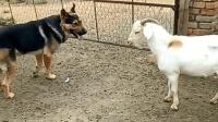 可怜的狗狗, 当山羊站起来的瞬间, 你在气势上就已经输了