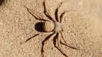 这种不会织网的蜘蛛 被它咬将会截肢或死亡 至今没有解药