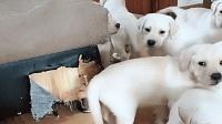 一群小狗围着沙发练习拆家, 此刻主人的内心是崩溃的!