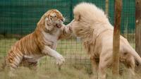 火药味十足, 巨型非洲雄狮合力群殴凶猛东北虎