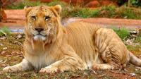 人工培育的终极猛兽, 近距离感受高大威猛的巨型狮虎兽