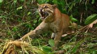 """""""黄虎"""" 我国新的森林之王 性情凶残勇猛 在野外很难看到"""