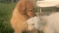 """金毛""""妞妞""""回到老家大草原上, 抱着小羊不撒开, 表情太贱了"""