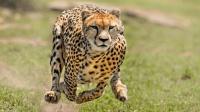 猎豹百米赛跑天下无敌, 但如果距离放远, 它能赢过灵缇犬吗?