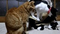 有只猫咪钻进纸箱里, 两只站到上面踩, 真逗