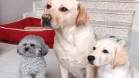 主人给小狗吃柠檬, 却被狗妈妈一把拦下: 主人别闹, 别坑它!