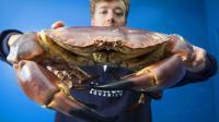 男子红树林捉巨型螃蟹, 一只就能吃到撑, 网友: 看的眼馋!