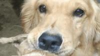 小金毛不幸夭折, 狗妈妈叼着它久久不愿松开, 表情让人心疼!