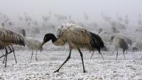 """能飞越珠穆朗玛峰的""""神鸟"""" 为我国一级保护动物"""